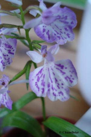 ponerorchis graminifolia