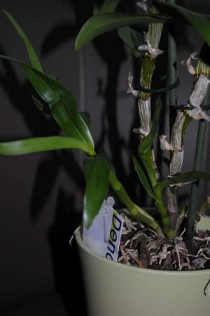 Uitgebloemde Dendrobium Nobile genoeg water?