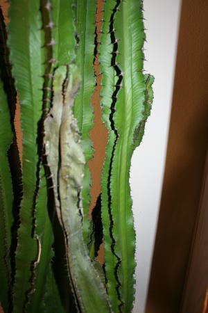 mijn cactus