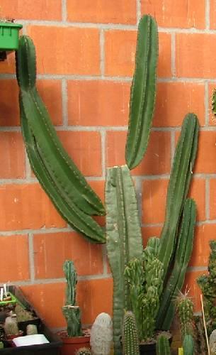 Wit verkleurde cactus