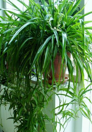 Chlorophytum Comosum (graslelie)