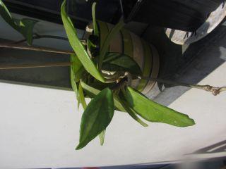 Slingerplant