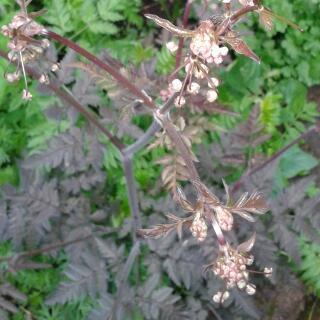 plant met grote wortel