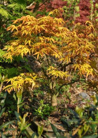 Acer goudkleurig