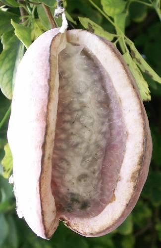 klimplant met parasiet?