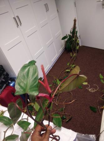 Indentificeren grote kamerplant & redden (drin