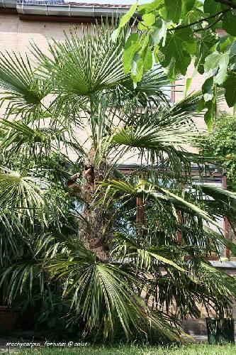 opgepast voor schildluis op trachycarpus