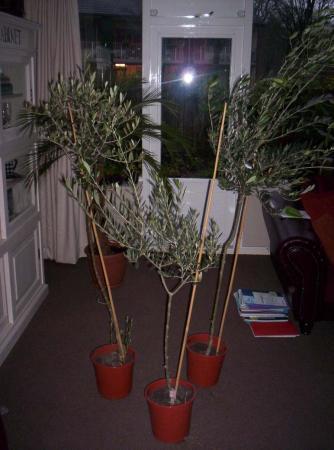 olijfboom - verzorging / wintermogelijkheden