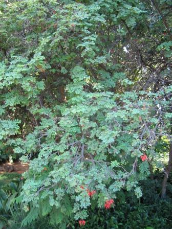 Zuid Afrikaanse Karroo boom
