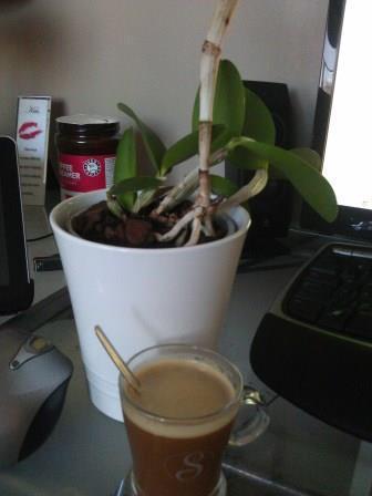 Cattleya aclandiae Hybrid