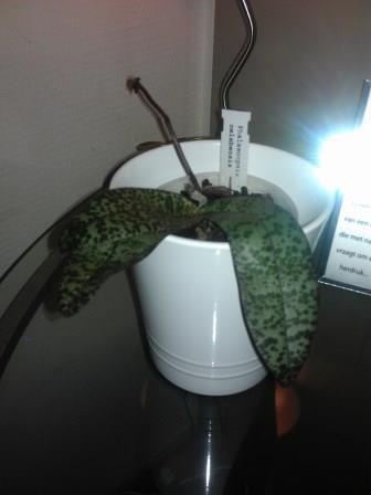knoppen in phalaenopsis celebensis