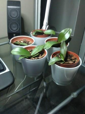 update baby orchids