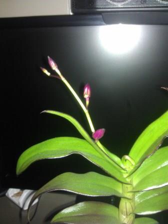 nieuwe bloei dendrobium