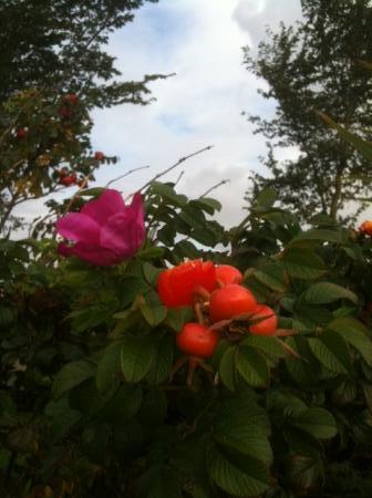 rozenbottel