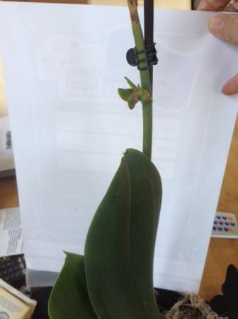 Orchidee groeit iets nieuws