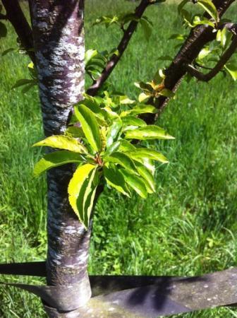 Welke boom is dit? Hoe te snoeien?