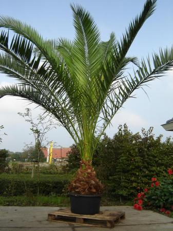 Phoenix canariensis groeitempo