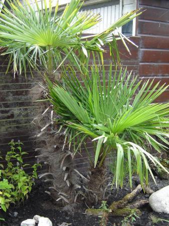 Aanschaf grote palm.