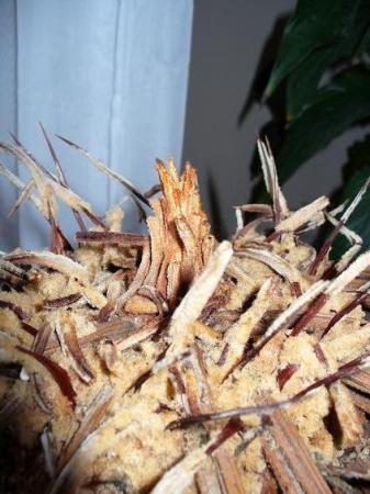 Cycas Revoluta zonder bladeren