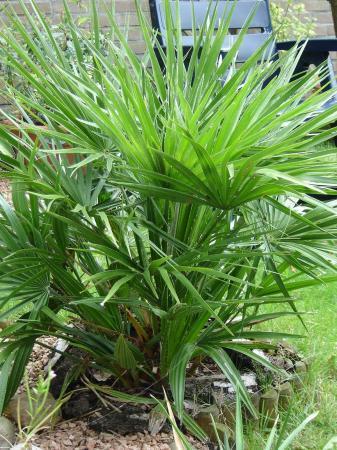 wie wil zaden van winterharde palmbomen/3 soorten