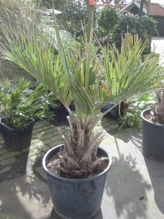 Hoe heet deze palm ?