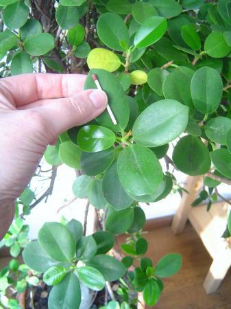 Verzorging Carpesa Retusa/ Ficus Bonsai 1 meter 80