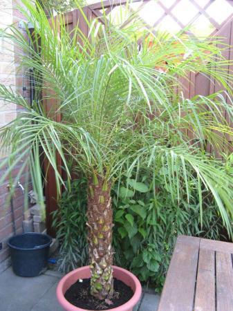 Phoenix roebelinii in grote pot?