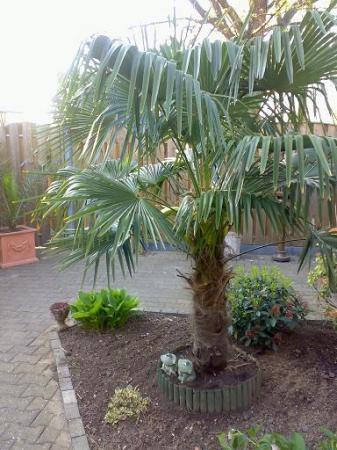 Bloeiwijze trachycarpus fortunei 2