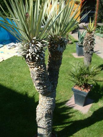 Yucca rostrata bare root gaat bloeien...
