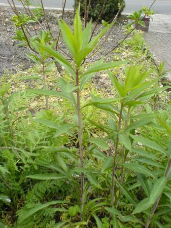 onbekende plantjes/ onkruid