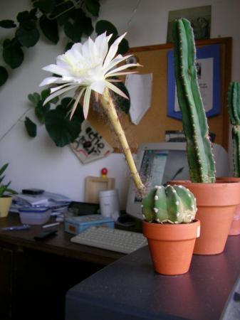 Cactus met pluimige (bloem?)stengel