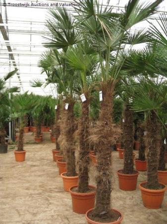 Palmenveiling