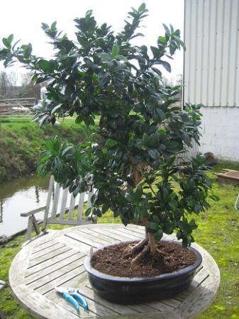 Snoeien van een Bonsai Ficus Ginseng