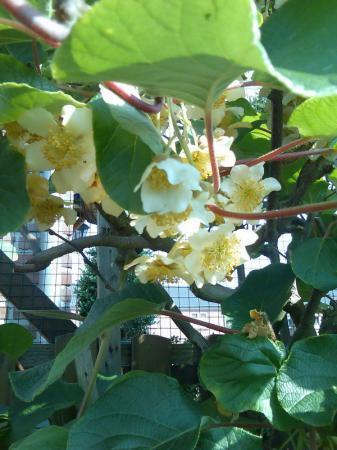 Kiwi krijgt wel bloemen, maar géén vruchten ?