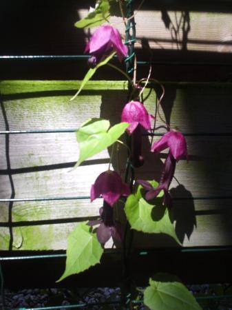 klimplantje/Rhodochiton