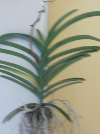 uitgebloeide lucht orchidee