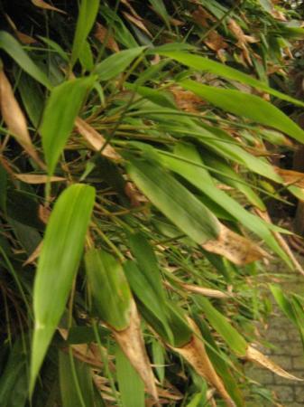 Bamboe maar welke?
