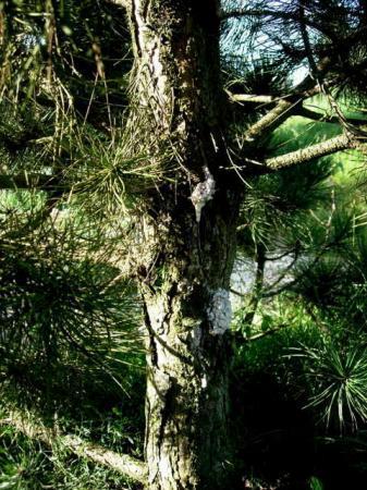 pinus nigra overproductie hars