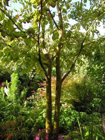 Scheuren in bast van Cercidiphyllum japonicum