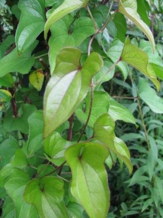 welke klimplant is dit?