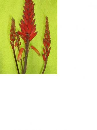 Prachtige Aloe in bloei