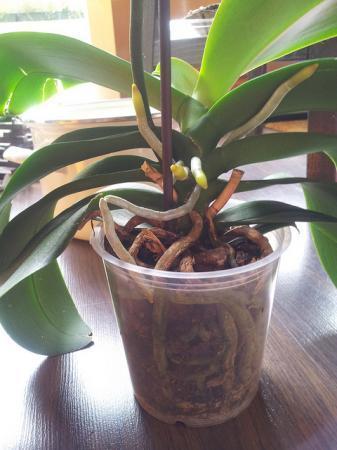 vraagje Phalaenopsis