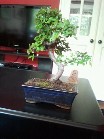 Gemuteerde parvifolia ulmus?