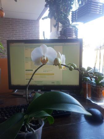 Phalaenopsis met....eitjes?
