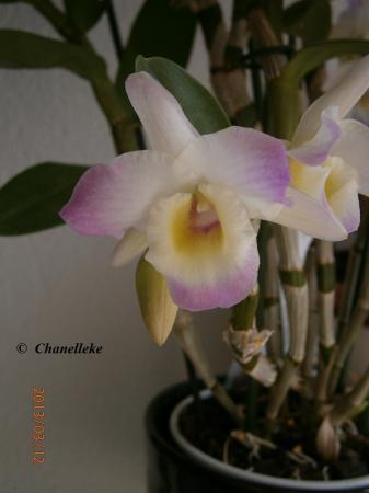 Dendrobium Nobile weer in bloei