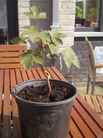 is de gewone esdoorn ook bruikbaar als bonsai?