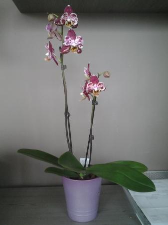 is dit een phalaenopsis?