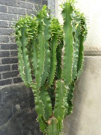 Euphorbia candelabrum variegata toppen