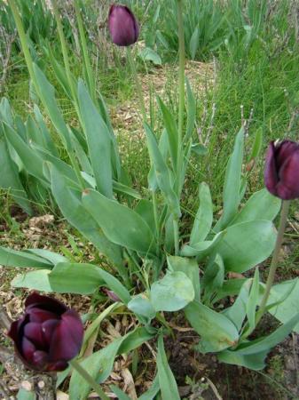 Tulpen ziek?