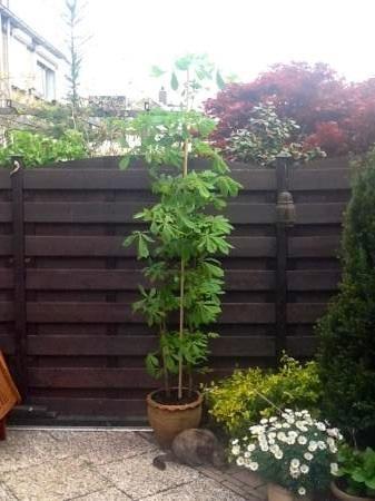 Kan ik mijn kastanjeboom na 7 jaar toppen